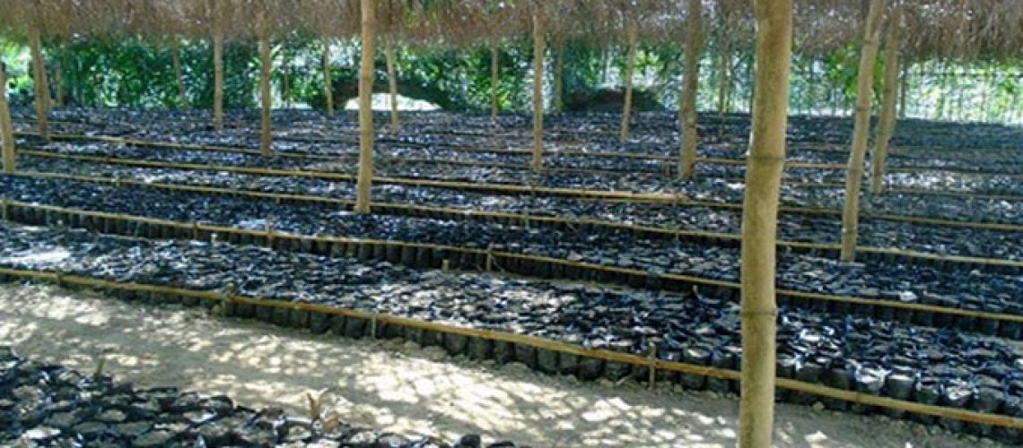 Cocoa Seeds sowing in the nursery